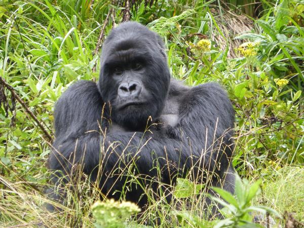 7-1-14_gorilla_image-vacation